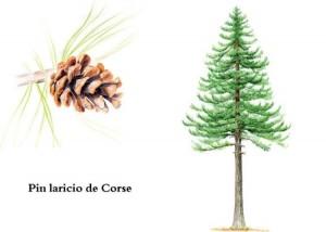 pin-laricio-corse-l750-h534-c